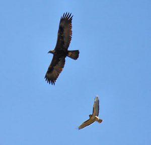 Smaller bird chasing Golden Eagle