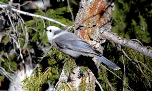 Gray Jay scoutng for food