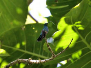 Green Mango Hummingbird - Puerto Rican Birds