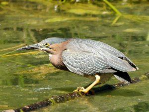 Green Heron gone fishin at UC Fullerton Arboretum