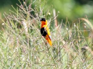Male Orange Bishop in tall grass along San Diego Creek in Costa Mesa, California