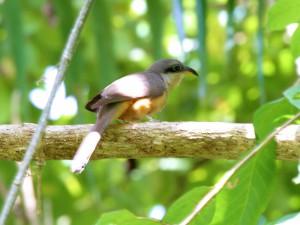 Mangrove Cuckoo - Puerto Rican Birds