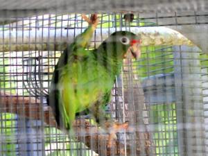 Puerto Rican Amazon Parrot - Puerto Rican Birds