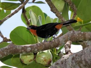 Puerto Rican Bullfinch - Puerto Rican Birds