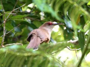 Puerto Rican Lizard Cuckoo - Puerto Rican Birds