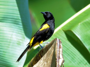 Puerto Rican Oriole - Puerto Rican Birds