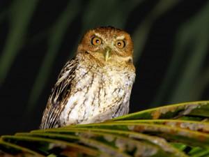 Puerto Rican Screech-Owl - Puerto Rican Birds
