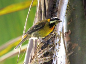Puerto Rican Spindalis - Puerto Rican Birds