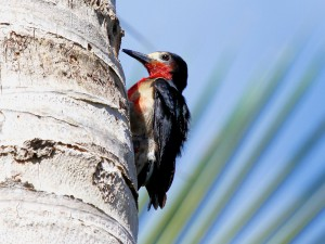 Puerto Rican Woodpecker - Puerto Rican Birds