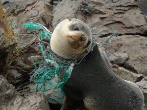 Fur Seal tangled in fishing net