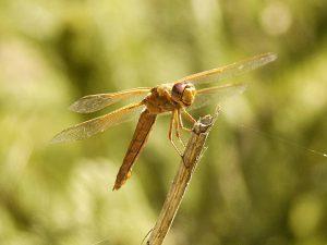 Female Flame Skimmer