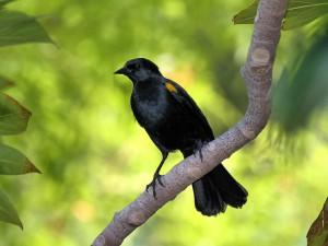 Yellow-shouldered Blackbird - Puerto Rican Birds